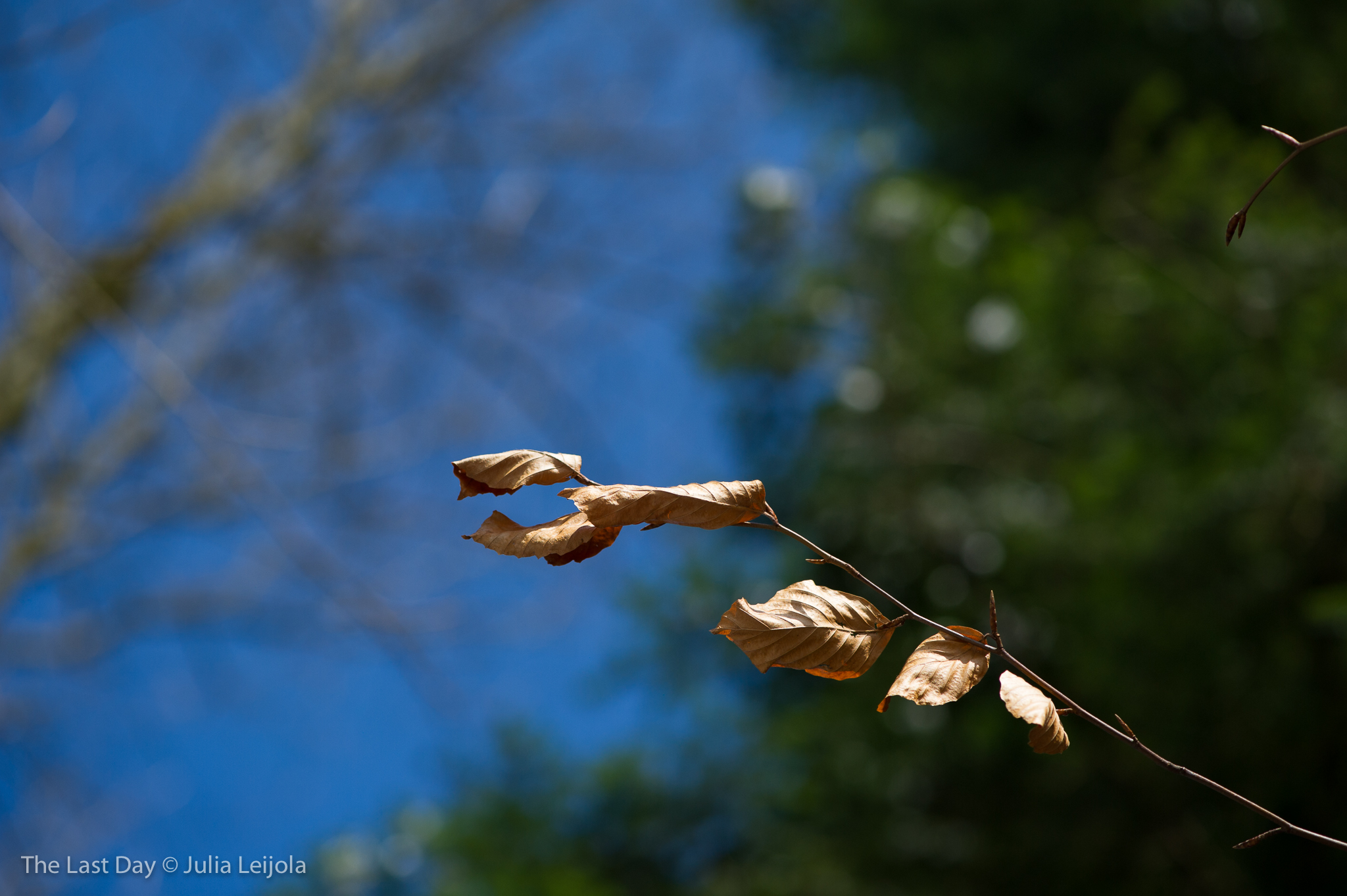 A handful of dried up leaves hang onto a bare branch.