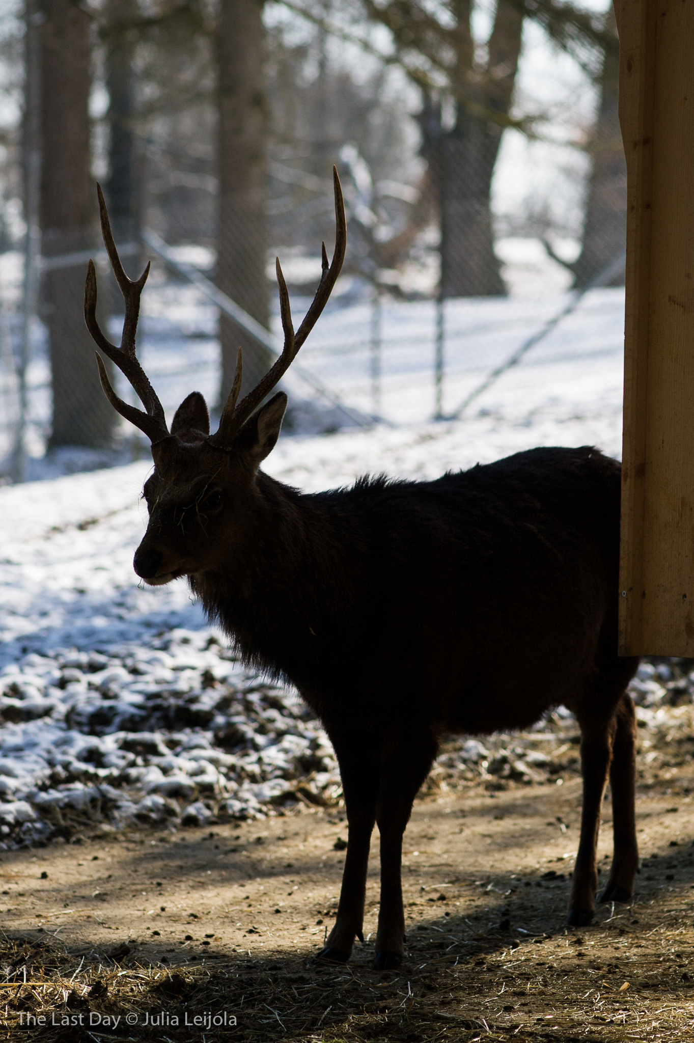 A male Cervus nippon is stood in the shade of a wooden structure - in the background are fences.