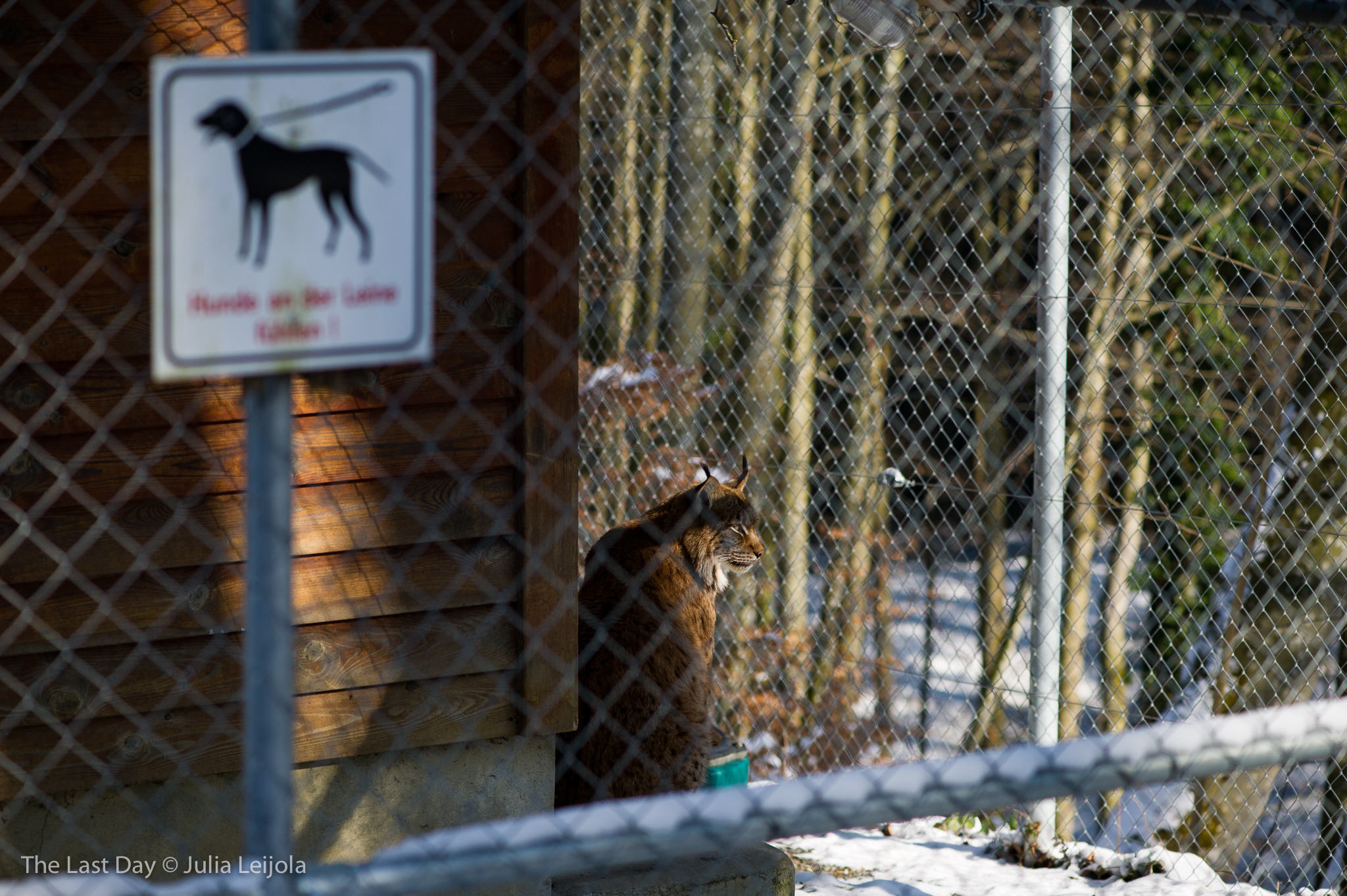 A lynx lynx is sat in a big cage - in the foreground, out of focus, hangs a 'keep your dog on the lead' sign.
